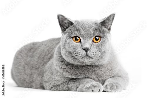 Brytyjski Shorthair kot odizolowywający na bielu. Kłamstwo
