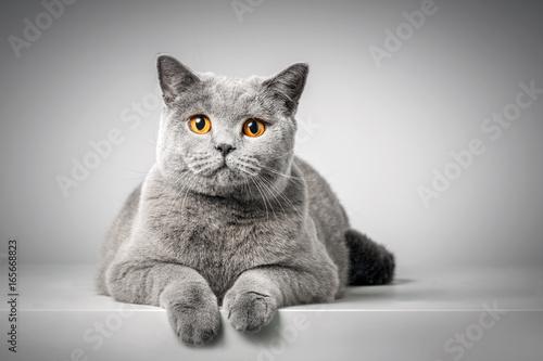 British Shorthair cat lying on white table Poster