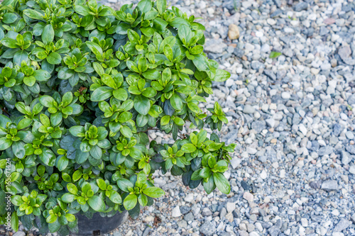 Young azalea in transparent plastic pot. Green leaves on stone background.