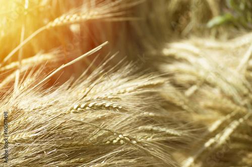 Wheat field. Summer light, golden light, summer concept. Beautiful Nature Sunset Landscape. Rural Scenery under Shining Sunlight. Background of ripening ears of meadow wheat field.
