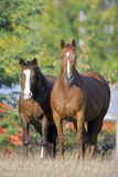 Bay Quarter Horse and Thoroughbred standing together at summer pasture, watching.