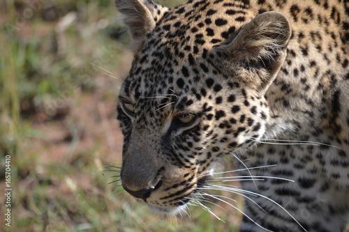 Fototapeta Leopard closeup in Kenya, Africa