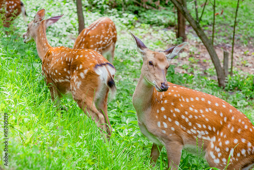 deers in the forest in summer
