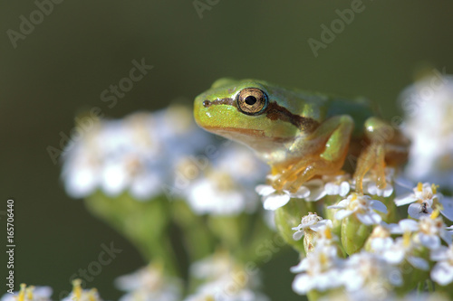 Young tree frog (Hyla arborea) is sitting on flower