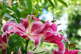 Lovely pink Tiger Lilies in the summer season