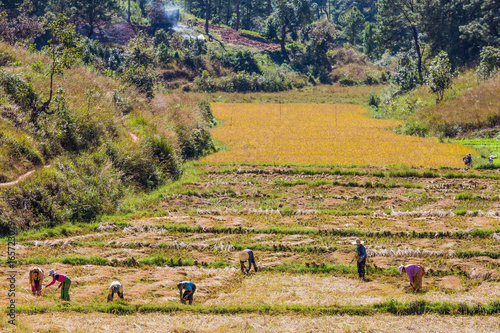 KALAW, MYANMAR - DECEMBER 06, 2016 : farmers harvesting cultivated land fields l Poster