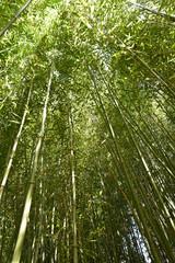 Bambous au jardin en été