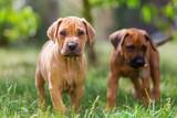 rhodesian ridgeback puppies on the meadow - 165728857