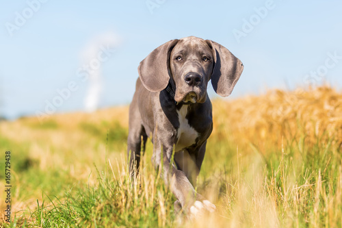 Obraz great dane puppy runs on a country path