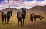 West Desert Horses