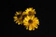 Trzy żółte kwiaty na czarnym tle. - 165742685