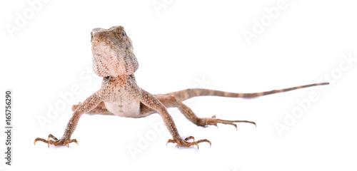 Asian chameleon on white background