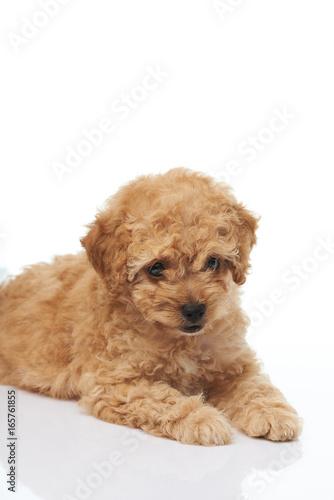 Tuinposter Eekhoorn Cute brown poodle puppy