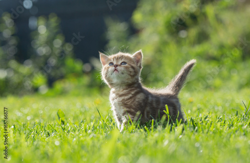 Little kitten looking up in green grass Poster