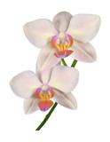 Detail of peduncle of beautiful orchid Phalaenopsis in cream color with two flowers, isolated on white background