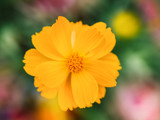 Yellow cosmos flower. Soft focus and Blurred.