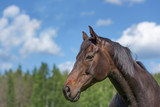 Beautiful purebred horse portrait on summer day