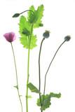 Schlafmohn oder Garten-Mohn (Papaver somniferum) blühende Pflanze vor weißem Hintergrund isoliert
