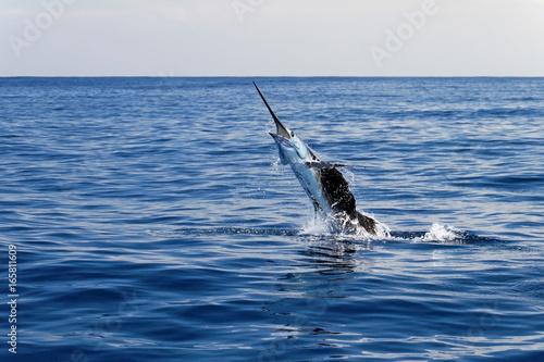 Marlin sailfish, pacific ocean, Costa Rica, Central America Poster