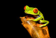 Red-eyed tree frog on branch