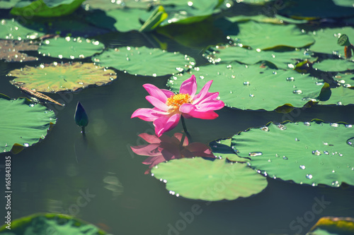 beautiful pink lotus flower blooming with droplet on green leaf in nature pond at the morning after rain