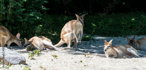 Flinkwallaby - Känguru - Macropus agilis
