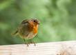 Robin on Fence, Head Tilted