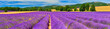 Panorama of lavender field