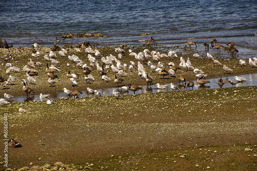 Foto op Canvas Canada Sea gulls and Canada Geese