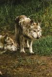 Wilk w Ameryce, dzikie zwierzęta i szary wilk