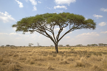 Umbrella tree in Serengeti national park, east africa