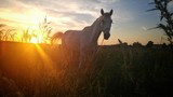 Wild horse in the field. Beautiful sunset in the russian nature