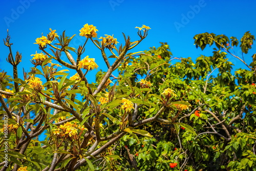 Bright yellow frangipani flowers against a tropical blue sky