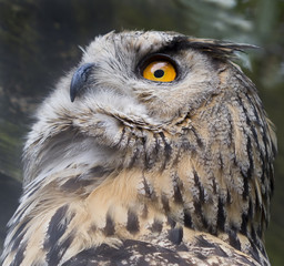 Owl, close up of face, big eyes, wisdom