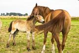 Pferde, Stute mit Fohlen, Liebe, Land, Natur, Tiere
