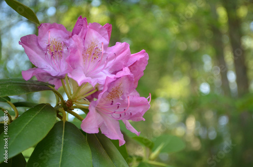 Fotobehang Azalea Beautiful Blooming Pink Rhododendron Flowers