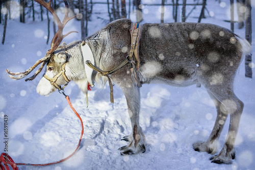 Reindeer at farm in Lapland Northern Finland night snowfall