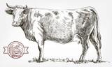 breeding cow. animal husbandry. livestock - 165925270