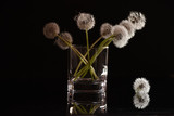 White fluffy flowers dandelions in a glass on a black background. Delicate weightless fluff.