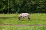 View of Tarpan, wild horses