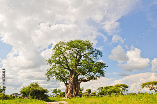 Foto op Canvas Baobab Baobab Tree