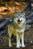 Szary wilk lub szary wilk (Canis lupus) stojący w lesie