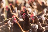 chickens farm - 165941024
