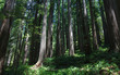 Dwarfed by the giant redwood forest