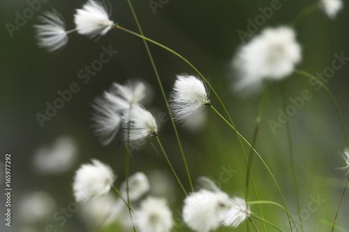 Arctic herb marsh plant - 165977292