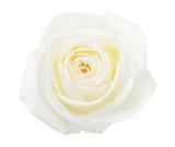 White Rose isolated on white background. - 165983025