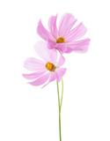 Two light pink Cosmos flowers isolated on white background. Garden Cosmos - 165983058