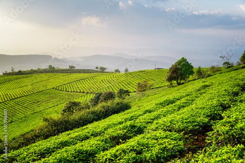Amazing view of tea plantation. Fantastic summer rural landscape