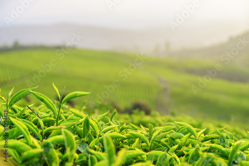 Scenic upper fresh bright green tea leaves at tea plantation