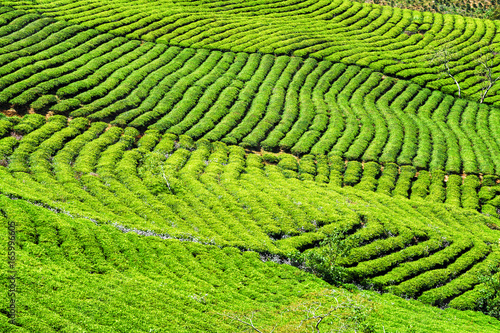 Beautiful rows of young bright green tea bushes